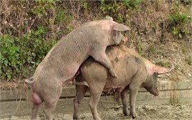Pigs do it like on the Discovery channel