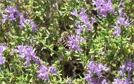 Bee on Wild Thyme