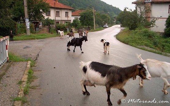 Кози в Рибарица