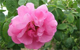 Българска роза дамасцена