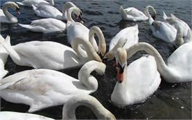London - Swans in Hyde Park