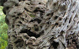 Старые оливковые деревя