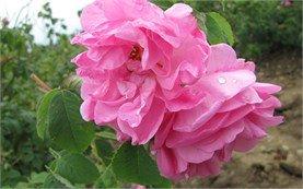 Маслодайна роза - България