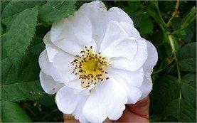Rose Damascena - Bulgaria