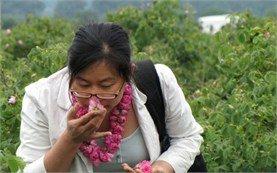 Поле с рози в Казанлък, България