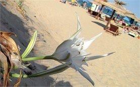 Kavaci пляж - песочная Лилия