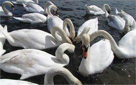 Лебедей