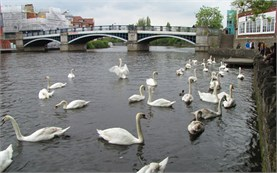 Windsor -  Swans in River Thames